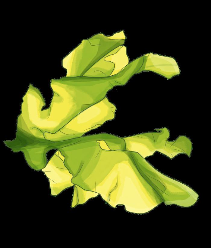 actif algue ulvaline