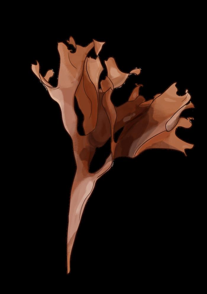 dessin algues arctique