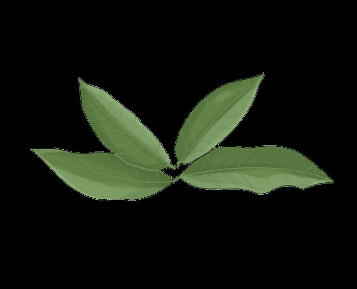 dessin de thé vert