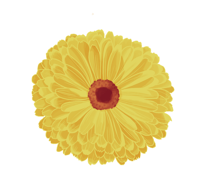 dessin fleur de calendula colo